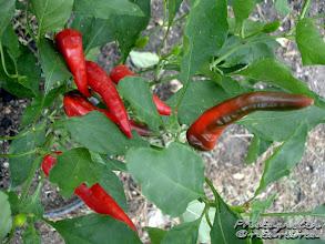 Photo: Peperoncini biologici