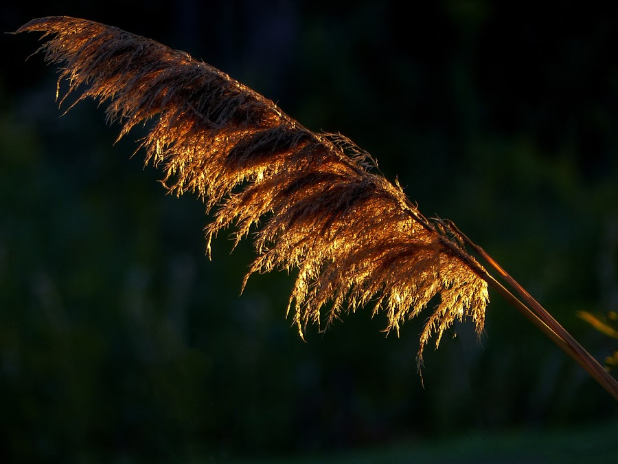Warmth of the Sun by Dave Walters - Nature Up Close Leaves & Grasses ( sunlight, nature, lumix fz200, pampas grass, colors )