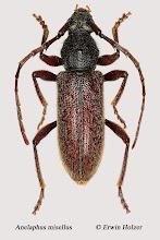 Photo: Anelaphus misellus, 13 mm, Costa Rica, La Cruz (11°07´/-83°36´), leg. Erwin Holzer, det. Herbert Schmid