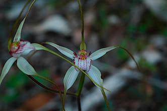 Photo: Caladenia longicauda ssp. eminens
