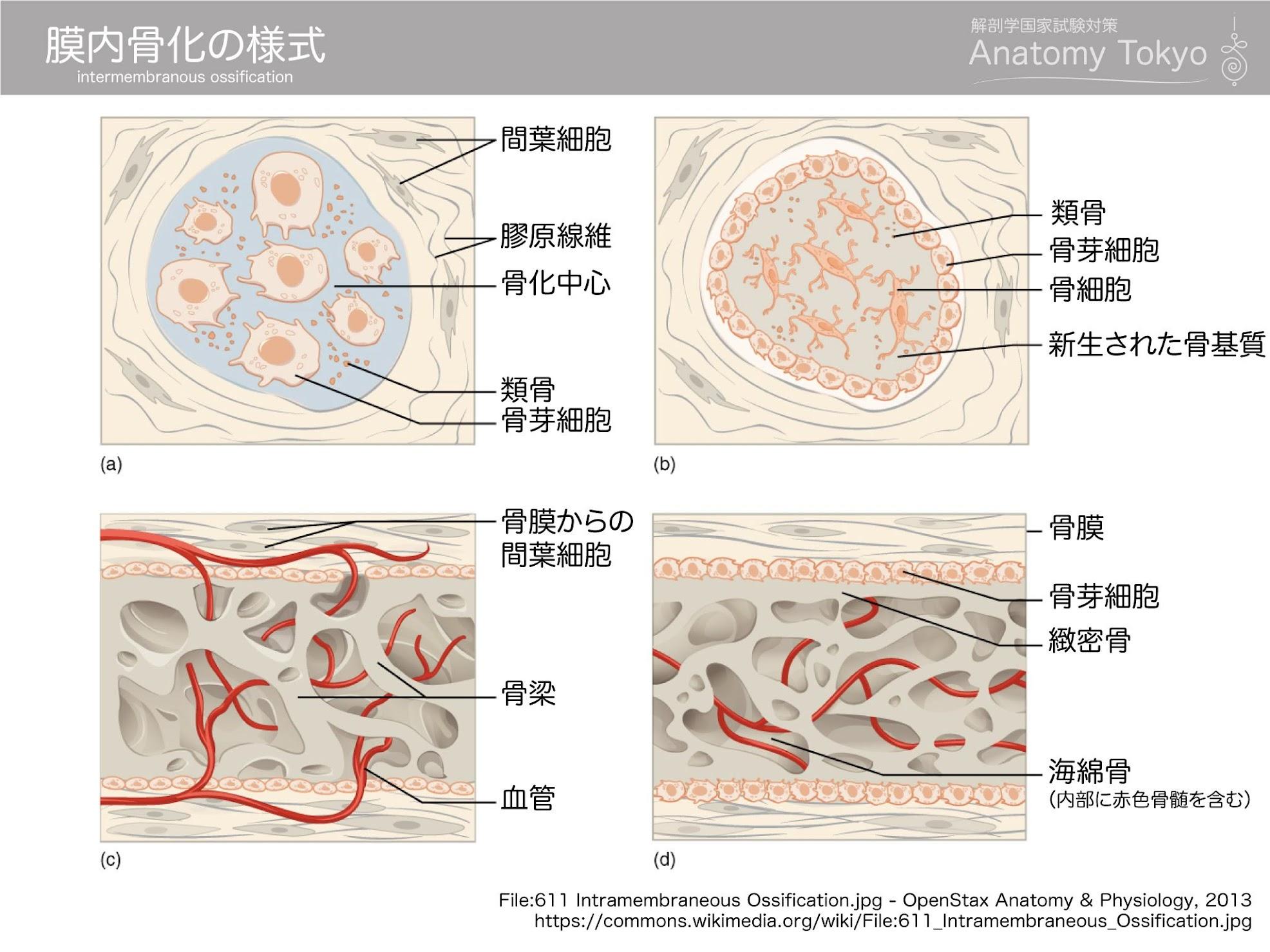 膜内骨化の様式(intermembranous ossification)