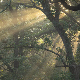 Piercing morning light by Mitch Tranmer - Landscapes Forests ( forest, enchanted, light, nebraska, state park, landscape, morning, sunray )