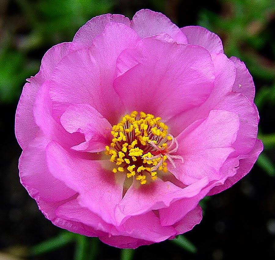 Pink Blossom by Debra Branigan - Flowers Single Flower ( single blossom, portulaca, flowers, photography,  )