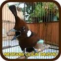Masteran Cililin Dahsyat Offline icon