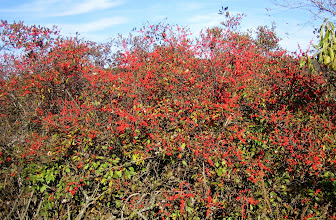 Photo: Winterberry (Ilex verticillata), 10.17