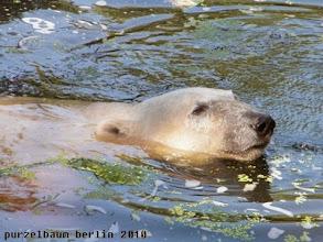 Photo: Knut kuehlt sich im Wasser ab ;-)
