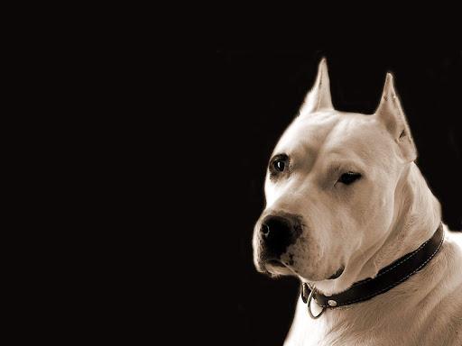Dogo Argentino Dog Wallpaper