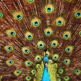 Showing Off by Amanda Westerlund - Animals Birds