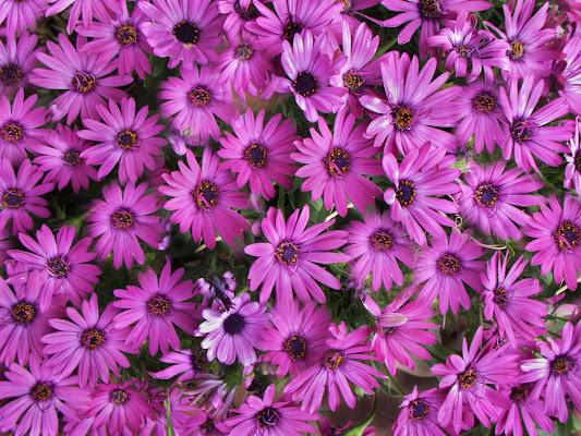 Pink daisies di luiker