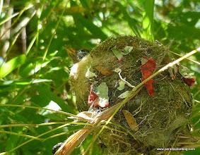Photo: Nestling Mexican Woodnymph (W. Mexico endemic hummingbird), Vallarta Botanical Gardens