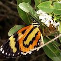 Euryanassa clearwing