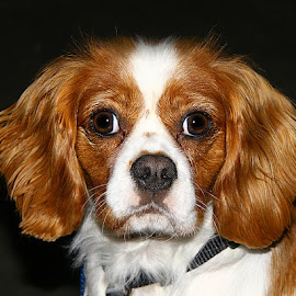 Milo by Chrissie Barrow - Animals - Dogs Portraits ( tan, cavalier king charles spaniel, fur, white, portrait, dog, pet )