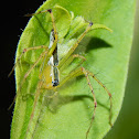 black backed lynx spider