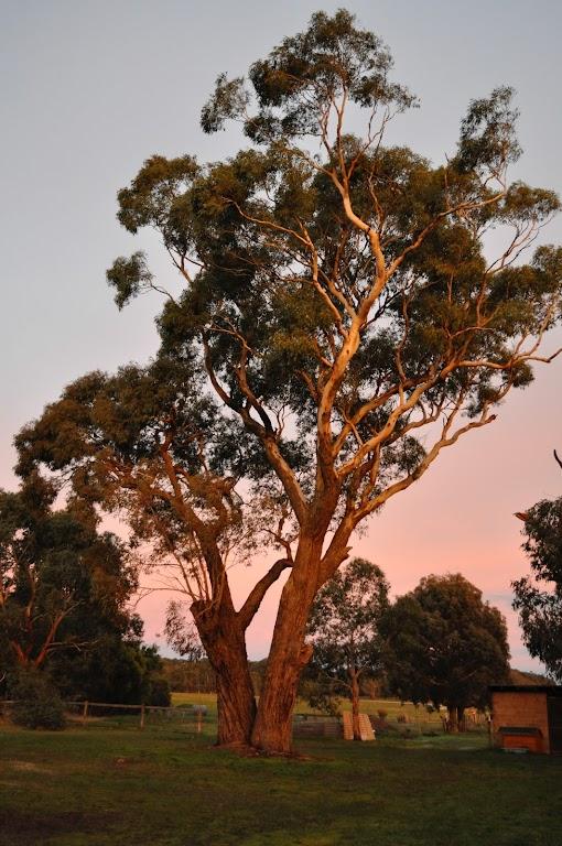 Eukaliptus rośnie szybko i należy do gatunków stosunkowo tanich.