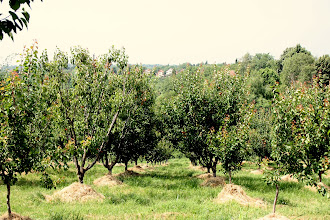 Photo: Day 79 - Orchard in Cortanovci