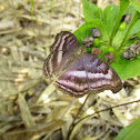 Chocolate Soldier or Chocolate Pansy