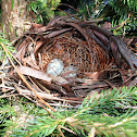 Northern Cardinal Nest and Eggs