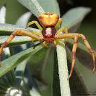 Whitebanded Crab Spider