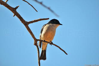 Photo: New addition to my Mokala album and my third card of a kind for #BirdPoker flycatchers curated by +Phil Armishaw