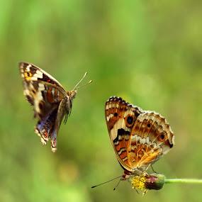 KASMARAN by B Iwan Wijanarko - Animals Insects & Spiders