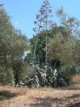 Photo: Riesenagave nahe Larnaka