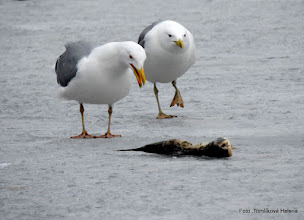 Photo: Racek bělohlavý (Larus cachinnans)
