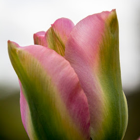 Pink Blush by Andrew Magee - Flowers Single Flower ( pastel, nature, flora, tulip, bloom, pink, flower )