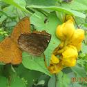 Common Castor butterflies mating