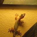 Tropical house gecko