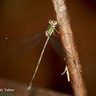 Willow Emerald Damselfly