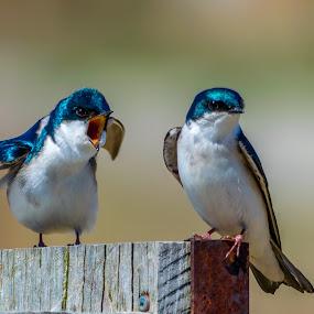 Domestic Dispute Swallows by Matthew Goldsworthy - Animals Birds ( bird, 4x6, tree swallow, 2016, birds, matt's )
