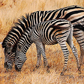 Zebras by Quentin Nothling - Animals Other Mammals