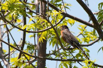Photo: American Robin (Wanderdrossel); Kingston, ON