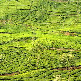 Tea Estate by Vasanth Photographer - Landscapes Prairies, Meadows & Fields ( field, hills, mountain, nature, green, tea, landscape, photography, estate,  )