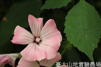 Photo: 拍攝地點: 梅峰-溫帶花卉區 拍攝植物: 花葵 拍攝日期:2012_07_18_FY