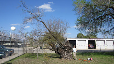 Photo: In Jourdanton, our national champion Huisache (Acacia farnesiana) isn't looking so good anymore, after several years of drought.