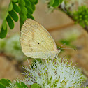 Straight-Barred Grass Yellow