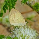 Straight-Barred Grass Yellow