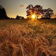 Сонник поле