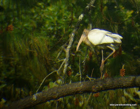Photo: Wood Stork; Rancho Primavera, near Tuito, Jalisco