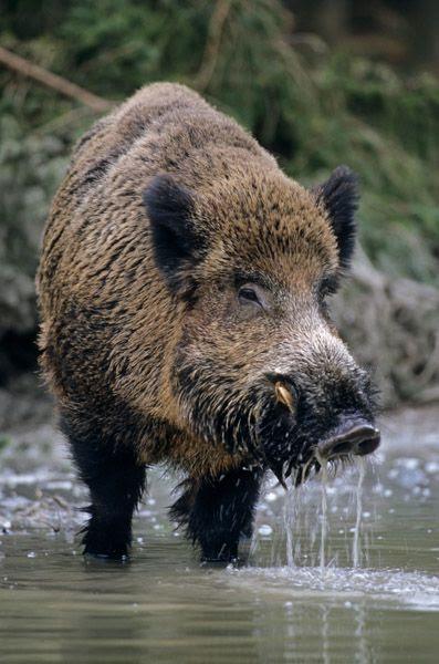 Κτήνος, άγριο ζώο, δόντια κυνόδοντες όπως ο σκύλος, ο λύκος, ο αγριόχοιρος, beast.