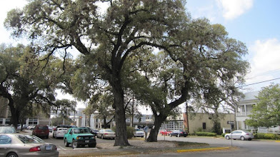 """Photo: Nearby, the """"Ranger Oaks"""" mark a camp of the forerunners of the Texas Rangers, including Capt. Jack Hays."""