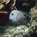 Indian Ocean Mimic Surgeonfish