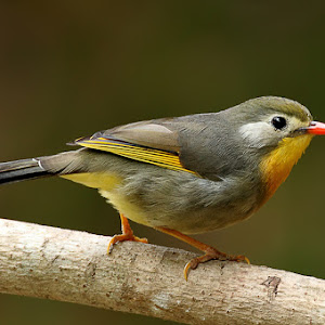 Red-billed Leiothrix small.jpg
