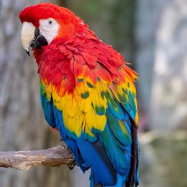 Macaw by Bert Templeton - Animals Birds ( pretty, bird, macaw, texas, parrot, fort worth,  )