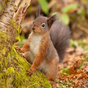 Look at me by Kenny Routledge - Animals Other Mammals ( dumfries and galloway, red squirrel, forest, kenny routledge, posing, squirrel )
