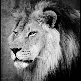 Lion by Dave Lipchen - Black & White Animals ( lion )