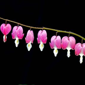 by Keith Sutherland - Flowers Flower Buds (  )