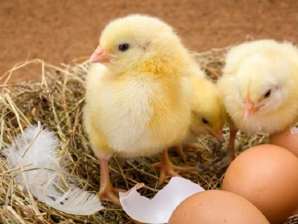 Cách chữa bệnh gumboro ở gà
