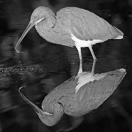 Reflections in Black and White! by Anthony Goldman - Black & White Animals ( tampa, tricolored, wildlofe, nature, bird, reflection.pond, b & w, heron, wild, water )